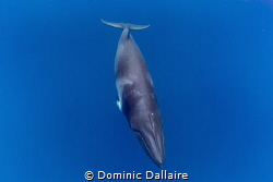 A curious Dwarf Minke Whale looking at me ! by Dominic Dallaire